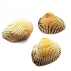 Scoici albe cu nervuri nisipii 25-30mm (5 buc)